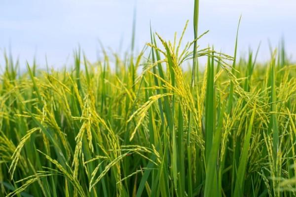 Tập trung phát triển lúa hữu cơ