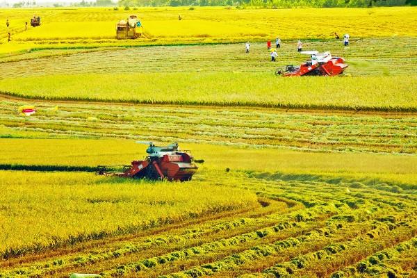 Sóc Trăng đầy mạnh việc sản xuất lúa ST25