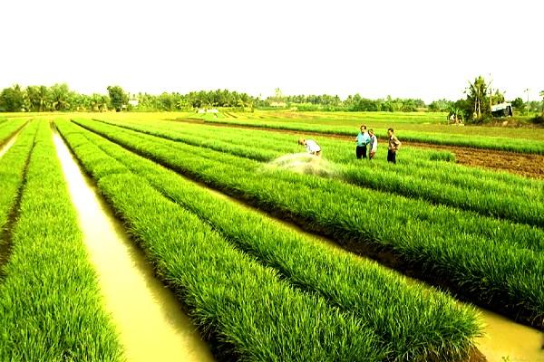 Mô hình trồng lúa nuôi tôm