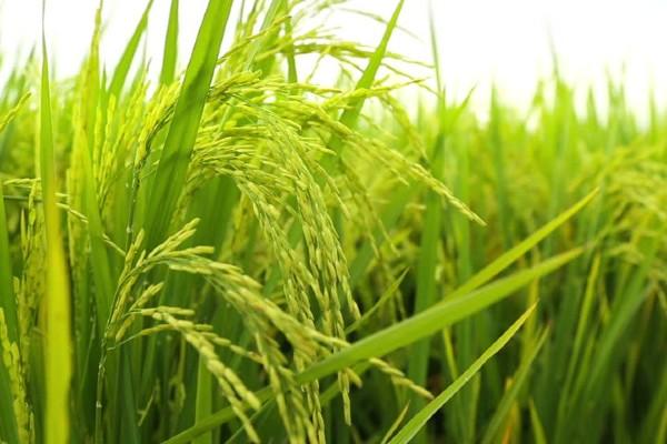 Gạo đặc sản Sóc Trăng 25 bán ở đâu