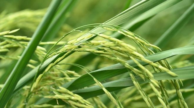 Giống lúa ST24 cho bông dài, trĩu hạt, mang lại năng suất cao