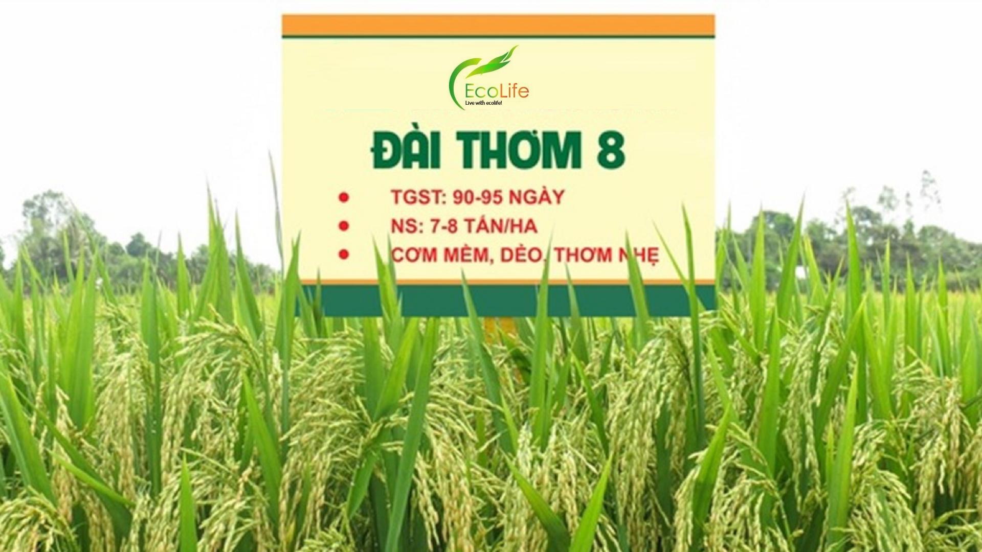 Lúa Đài Thơm 8 được trồng nhiều ở vùng ĐBSCL cho năng suất tốt