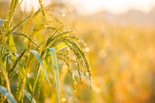 đại lý gạo quận 2 chuyên cung cấp gạo ngon chất lượng