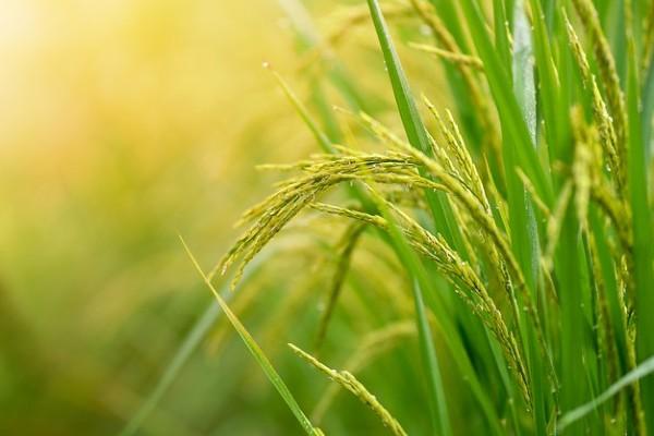 Gạo ST25 bén rễ ở vùng đồng bằng Sông Cửu Long