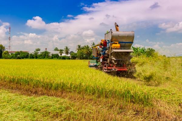Lúa ST25 đến mùa thu hoạch