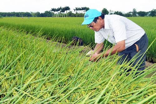 Lúa ST25 được gieo trồng rộng rãi vùng đồng bằng SCL