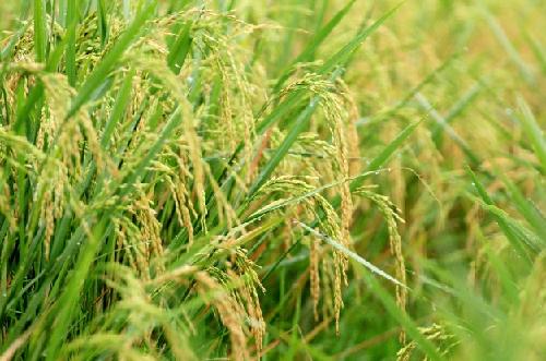 Gạo Việt Nam ngon nhất thế giới được thu mua trực tiếp tại ĐB SCL