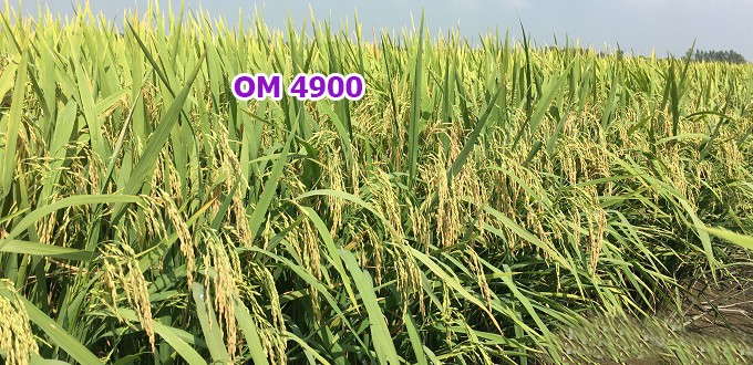 Gạo Lài Sữa được trồng nhiều ở vùng đồng bằng Sông Cửu Long