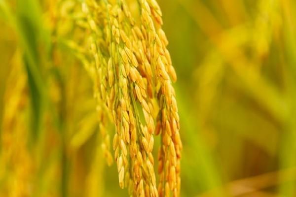 EcoLife tự hào là đại lý phân phối gạo sạch và các mặt hàng thiết yếu