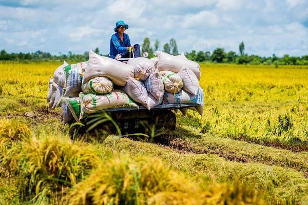 đặc trưng của gạo ngon nhất thế giới st25