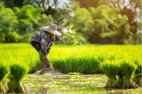 Hạt gạo Việt Nam ngon nhất thế giới