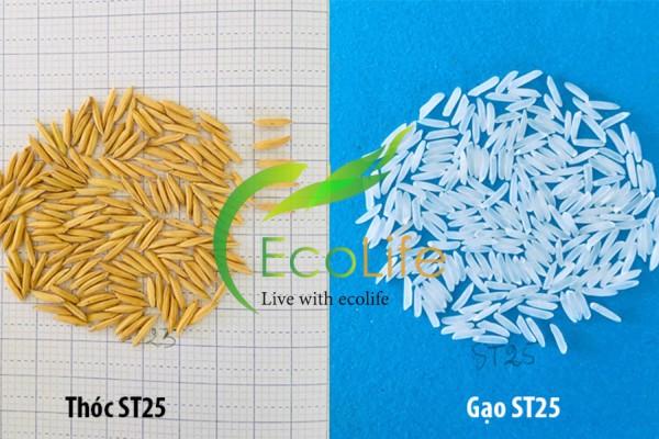 Hình dáng thóc và hạt gạo ST25