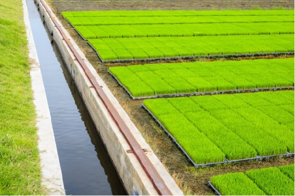 EcoLife là đại lý chuyên cung cấp gạo ST25 chính hãng phục vụ thị trường trong nước và xuất khẩu.