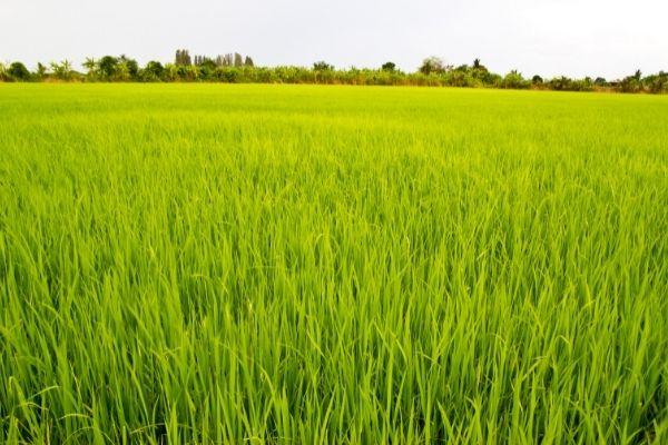 Thách thức của gạo xuất khẩu Việt Nam