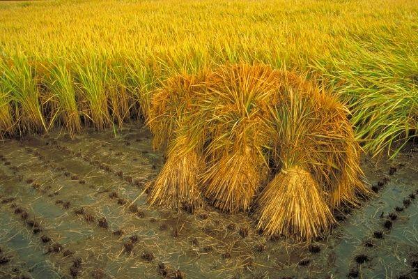 Từng bước nâng cao chất lượng gạo Việt Nam xuất khẩu